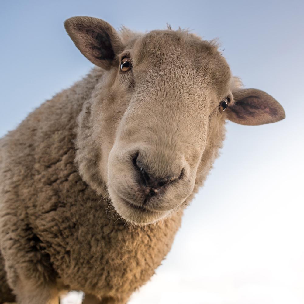 Der Geruch der Schafe